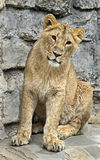 Asian lioness 1 Royalty Free Stock Photo