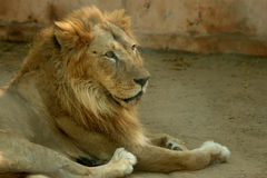 Asian lions. Asian lion is the largest cats, beauty and ferocity Royalty Free Stock Photo