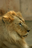 Asian lions. Asian lion is the largest cats, beauty and ferocity Royalty Free Stock Images