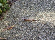 Asian lizard skink Stock Photo