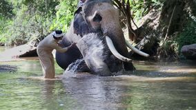 Asian mahout with elephant in creek , Chiang mai Thailand. stock video