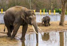 Asian male elephant putting its trunk in the water, Elephant drinking water, Endangered animal from Asia royalty free stock images