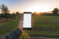 Asian man holding white screen smart phone on the hand with rice. Field background for agriculture farming concept royalty free stock image