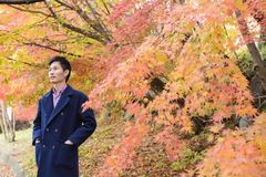 Asian man with maple leaves in autumn Royalty Free Stock Photography
