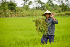 Asian man in rice field. Stock Photos