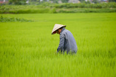 Asian man in rice field. Royalty Free Stock Images