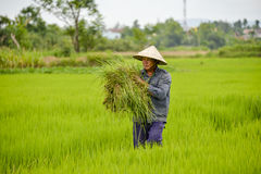 Asian man in rice field. Royalty Free Stock Photos