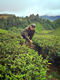 Asian man in tea plantation Stock Photos