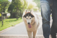 Asian man walking with a siberian husky don. In the park Stock Image