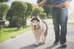 Asian man walking with a siberian husky don. In the park Royalty Free Stock Photos