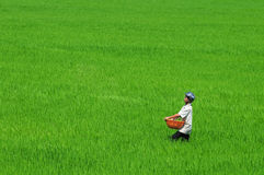 Asian man working on paddy field in Vietnam Stock Images