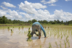 Asian man works on the rice field Royalty Free Stock Photography