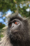 Asian Monkey. A closeup shot of an asian monkey's face Stock Images