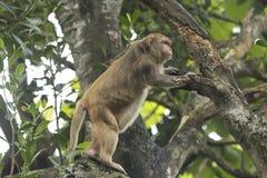 Asian monkey Stock Image