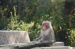 Asian Monkey Royalty Free Stock Photography