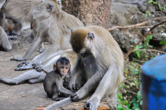 Asian Monkey family, little macaque sitting near to his mother and looking at camera Stock Photography