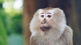 Asian Monkey in the forest Royalty Free Stock Photos