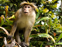 Asian monkey on the tree Royalty Free Stock Photography