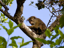 Asian monkey on the tree Royalty Free Stock Photo