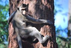 Asian Monkey Royalty Free Stock Photo