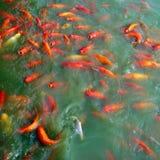 Asian Nishikigoi Koi Pond. Koi pond filled with orange ornamental carp or nishikigoi Royalty Free Stock Photo