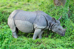 Asian one-horned rhinoceros Royalty Free Stock Images