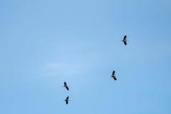Asian Open-bill stork Stock Images