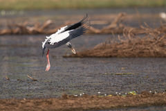 Asian open-billed stork beats wings while landing Stock Photo
