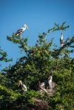 Asian openbil stork Royalty Free Stock Photos