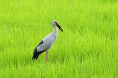 Asian Openbill Stock Photos