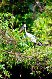 Asian openbill Royalty Free Stock Photography