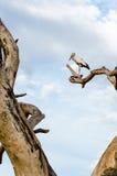 Asian Openbill (Anastomus oscitans) White bird sta Royalty Free Stock Image