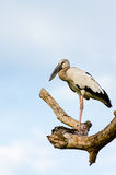 Asian Openbill (Anastomus oscitans) White bird standing alone Stock Images