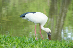 The Asian Openbill or Asian Openbill Stork (Anastomus oscitans). In Thailand Stock Photography