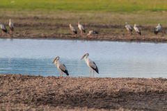 Asian openbill or Asian openbill stork Stock Photos