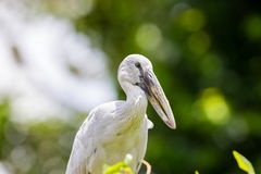 Asian openbill or Asian openbill stork. Royalty Free Stock Photo