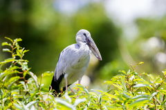 Asian openbill or Asian openbill stork. Royalty Free Stock Images