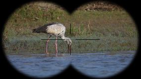 Asian openbill bird anastomus oscitans seen through binoculars. Bird watching at wildlife safari. Shot with a Sony RX10 IV fps 59,94 FHD stock video