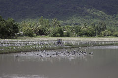 Asian openbill bird looking for some food in rice plantation Royalty Free Stock Photos