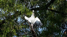 Asian Openbill on the branch in forest. stock video footage
