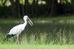 Asian Openbill Royalty Free Stock Photos