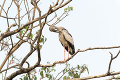 Asian openbill close up Royalty Free Stock Photos