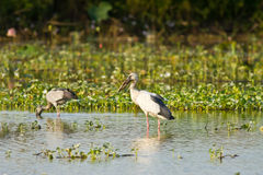 Asian openbill feeding in the pond Royalty Free Stock Photos