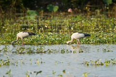 Asian openbill feeding in the pond Royalty Free Stock Photography
