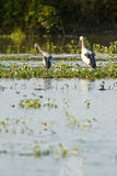 Asian openbill feeding in the pond Stock Images