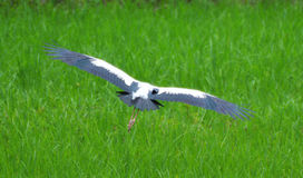 Asian Openbill flying Stock Images
