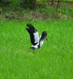 Asian Openbill flying Royalty Free Stock Photos