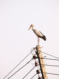 Asian openbill large stork on electric cable pole Stock Photography