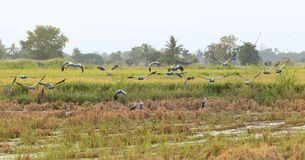 Asian openbill in paddy at Thailand. Asian openbill in paddy at Thailand in the evening Royalty Free Stock Image