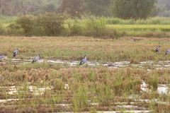 Asian openbill in paddy at Thailand. Asian openbill in paddy at Thailand in the evening Royalty Free Stock Photography